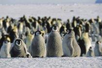 Filhotes de pinguim-imperador em pé neve na Antártida — Fotografia de Stock