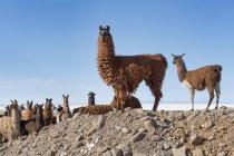 Лам стадо в бесплодной пейзаж, Альтиплано, Колчани, Потоси, Боливия, Южная Америка — стоковое фото
