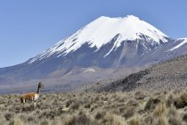 Snow-covered volcanoes with grazing guanaco in Nevado Sajama National Park, Bolivian border, Chile, South America — Stock Photo