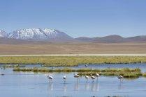 Чилийский фламинго на озере в горах Сан-Педро-де-Атакама, Область Антофагаста, Чили, Южная Америка — стоковое фото