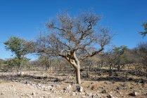 Árvore de Guggal na paisagem árida, Kaokoveld, Namíbia, África — Fotografia de Stock