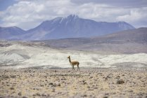 Vicugna at Altiplano by Putre, Arica y Parinacota Region, Chile, South America — Photo de stock