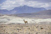 Vicugna no Altiplano por Putre, Arica y Parinacota região, Chile, América do Sul — Fotografia de Stock