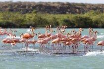 Americanos flamingos na água, Punta Gallinas, La Guajira, Colômbia, América do Sul — Fotografia de Stock