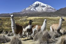 Llamas on pasture in front of volcano in Nevado Sajama National Park, border between Bolivia and Chile in South America — Stock Photo