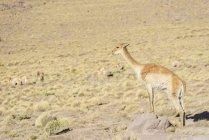 Vicugna pastando nas montanhas San Pedro de Atacama, região de Antofagasta, Chile, América do Sul — Fotografia de Stock