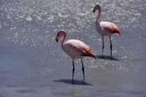 Flamingos in water of Laguna Hediond in Uyuni, Sur Lipez, Bolivia, South America — стоковое фото