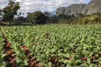 Tobacco field with karst mountain landscape in Vinales Valley, Pinar del Rio Province, Cuba, Central America — Stockfoto