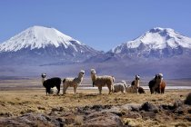 Llamas on pasture in front of volcanoes in Nevado Sajama National Park, border between Bolivia and Chile in South America — Fotografia de Stock