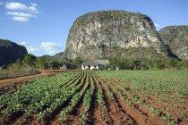 Tobacco field and farm house in Vinales Valley, Pinar del Rio Province, Cuba, Central America — Stock Photo