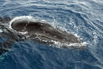 Close-up of Humpback whale protruding from Atlantic Ocean water by Dominican Republic, Central America — Stock Photo