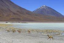 Vicunas grazing in front of Laguna Verde and volcano Licancabur in Potosi, Bolivia, South America — Stock Photo