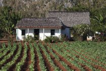 Tobacco field and farm house in Vinales Valley, Pinar del Rio Province, Cuba, Central America — Stock Photo