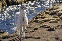 Біла лама перед крик, Альтіплано, Болівія, Південна Америка — стокове фото