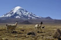 Llamas grazing on barren meadow in front of Nevado Sajama volcano, Sajama National Park, Bolivia, South America - foto de stock