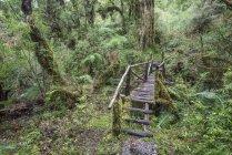 Походная тропа через дождевой лес в Pumalin парк, Чайтен, Лос-Лагос, Чили, Южная Америка — стоковое фото
