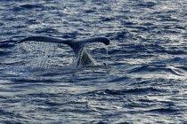 Buckelwal schlagen Tail auf Wasseroberfläche im Atlantischen Ozean, Dominikanische Republik, Mittelamerika — Stockfoto