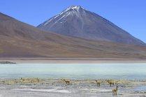 Vicunas grazing in front of Laguna Verde and volcano Licancabur in Potosi, Bolivia, South America — Stockfoto