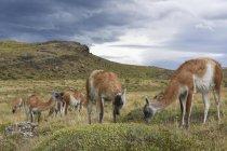 Гуанако, пасущихся на альпийских пастбищ под дождь облака, Торрес дель Пейн Национальный парк, Патагония, Чили, Южная Америка — стоковое фото
