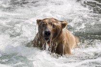 Urso pardo, emergindo da água, Rio Brooks, do Parque Nacional Katmai, Alasca, Estados Unidos, da América do Norte — Fotografia de Stock