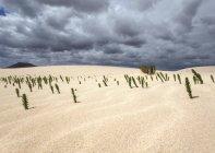 Онніс рослини natrix в піщані дюни, блукаючі дюни Ель Jable, Лас-Dunas де Корралехо, Корралехо природний парк, Фуертевентура, Канарські острови, Іспанія, Європа — стокове фото