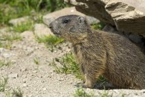 Alpine marmot peeking out of burrow, Alp Trida, Samnaun, Canton of Grisons, Switzerland, Europe — Stock Photo