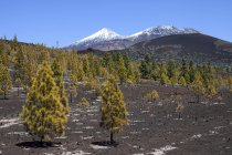 Canary pines in volcanic landscape, snow-capped Pico del Teide and Pico Viejo, Teide National Park, UNESCO World Heritage Site, Tenerife, Canary Islands, Spain, Europe — Stockfoto