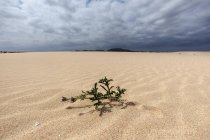 Flowering plant in sand dunes, wandering dunes of El Jable, Las Dunas de Corralejo, Corralejo Natural Park, Fuerteventura, Canary Islands, Spain, Europe — Stock Photo