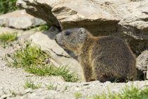 Marmotte alpine de Burrow, ALP Trida, Samnaun, canton des Grisons, Suisse, Europe — Photo de stock