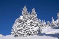 Снігова spruces в Браунек, Lenggries, Isarwinkel, Верхня Баварія, Баварія, Німеччина, Європа — стокове фото