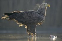 White-tailed eagle standing in shallow water of pond with condensing breath with prey. — Stock Photo