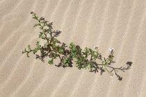 Flowering plant in sand dune, wandering dunes of El Jable, Las Dunas de Corralejo, Corralejo Natural Park, Fuerteventura, Canary Islands, Spain, Europe — Stock Photo