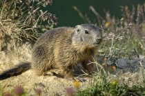Alpine marmot near meadow burrow, Alp Trida, Samnaun, Canton of Grisons, Switzerland, Europe — Stock Photo