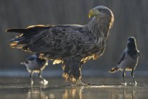 White-tailed eagle standing in shallow water of pond with two crows. — Stock Photo