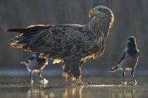 Águia branco-atada que está na água rasa da lagoa com dois corvos — Fotografia de Stock
