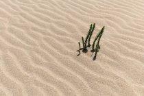 Les plantes Ononis Natrix poussent dans les dunes errantes de El Jable, Las Dunas de Corralejo, parc naturel de Corralejo, Fuerteventura, Iles Canaries, Espagne, Europe — Photo de stock