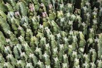 Harzspranzen-Pflanze auf Fuerteventura, Kanarischen Inseln, Spanien, Europa — Stockfoto