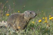 Jeune marmotte Alpine dans les prairies fleuries, ALP Trida, Samnaun, canton des Grisons, Suisse, Europe — Photo de stock