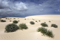 Flowering plants growing in sand dunes, wandering dunes El Jable, Las Dunas de Corralejo, Corralejo Natural Park, Fuerteventura, Canary Islands, Spain, Europe — стоковое фото