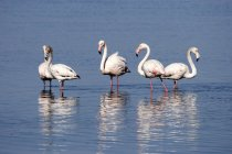 Greater flamingos in water of Walvis Bay with reflection, Namibia, Africa — Stock Photo