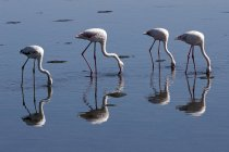 Greater flamingos foraging in water of Walvis Bay with reflection, Namibia, Africa — Stock Photo