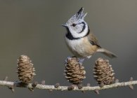 Crested tit perched on cone of larch branch while feeding, close-up — Stock Photo