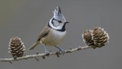 Crested tit sitting on larch branch with cones, close-up — Stock Photo