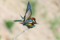 European bee-eaters mating on tree branch, close-up — Stock Photo
