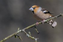 Hawfinch in splendid plumage sitting on branch with lichens — Stock Photo