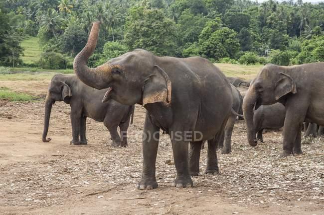Asiatische Elefantenherde — Stockfoto