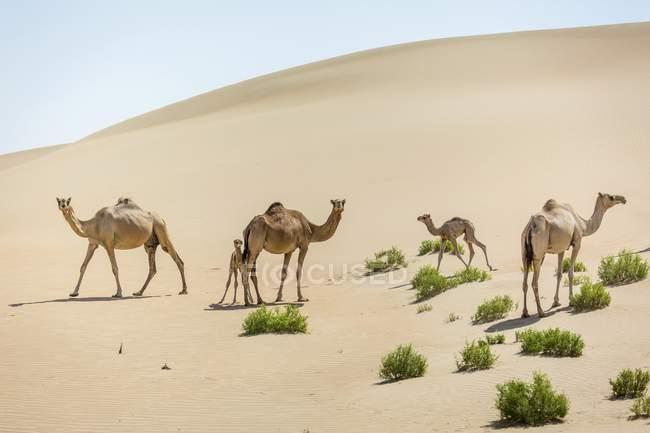 Dromedari Camelus dromedarius con giovani — Foto stock
