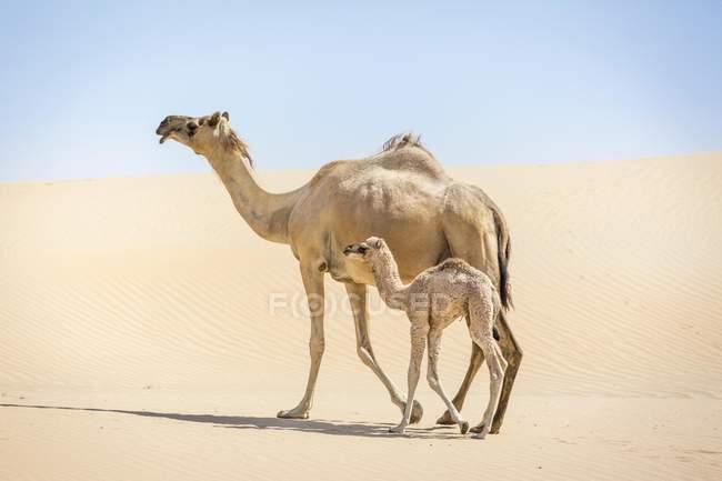 Dromedario Camelus dromedarius con giovani — Foto stock