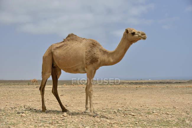 Dromedario vicino Mirbat, regione di Dhofar — Foto stock