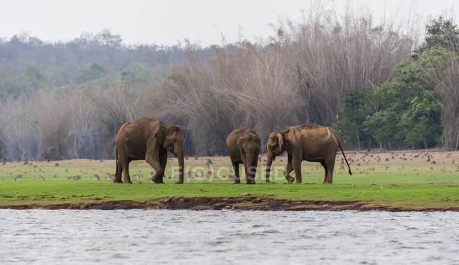 Asiatische Elefanten, Nationalpark — Stockfoto